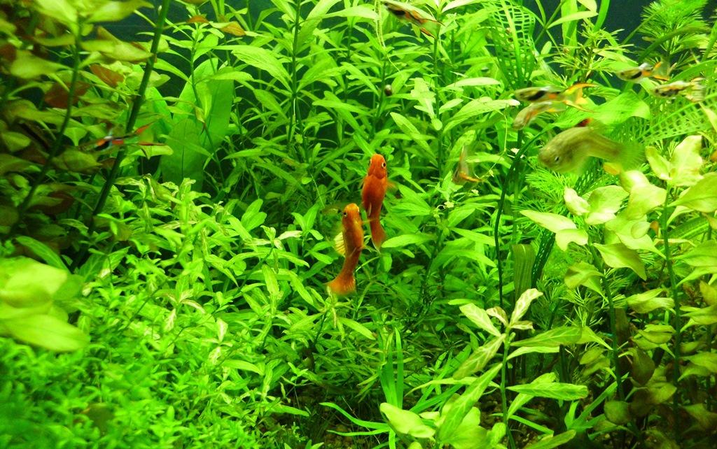akvaryum-bitkili akvaryum kurulumu-lepistes-plati-moli-kılıçkuyruk-japon balığı