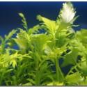 Çınar - Hygrophila Difformis 4