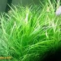 Blyxa Japonica 3