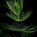 Çam - Ceratophyllum Demersum
