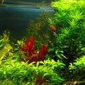 Heteranthera Zosterifolia - Stargrass