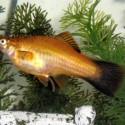 Dişi Kılıçkuyruk Balığı
