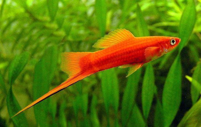 Erkek Kılıçkuyruk Balığı