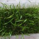Emers Parvula ve Lilaeopsis