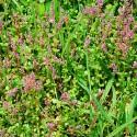 Rotala Rotundifolia Çiçek