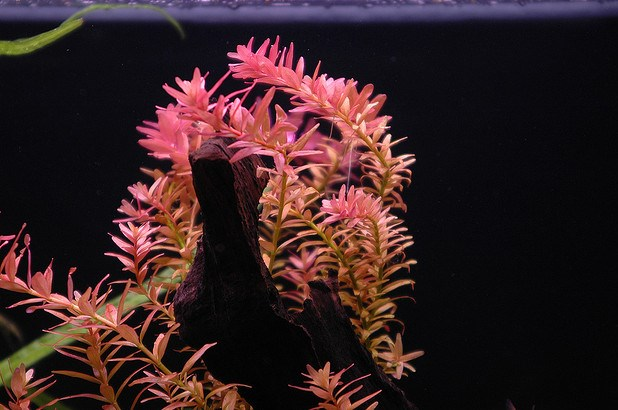 Rotala Rotundifolia.