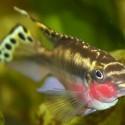 Gökkuşağı Kribensis - Pelvicachromis Pulcher .