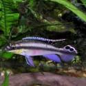 Gökkuşağı Kribensis - Pelvicachromis Pulcher 1