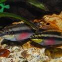 Gökkuşağı Kribensis - Pelvicachromis Pulcher 2