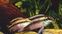 Gökkuşağı Kribensis - Pelvicachromis Pulcher