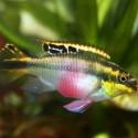 Gökkuşağı Kribensis - Pelvicachromis Pulcher 4