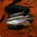 Gökkuşağı Kribensis - Pelvicachromis Pulcher 5