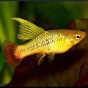 Xiphophorus Maculatus -  Plati