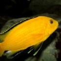 Labidochromis-Caeruleus-Sarı-Prenses