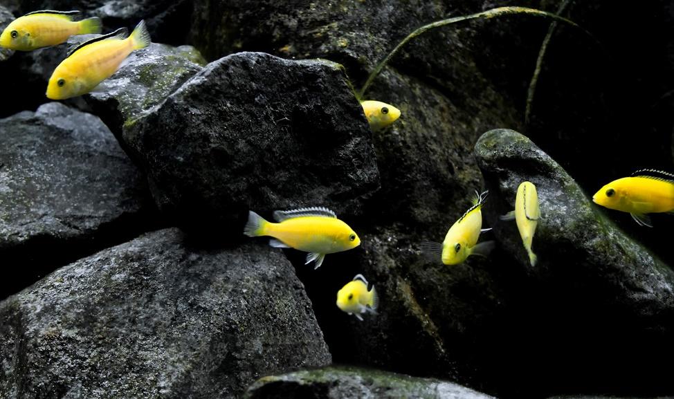 Labidochromis Caeruleus - Sarı Prenses.