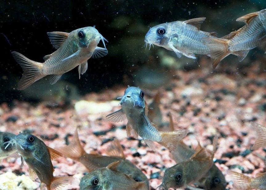 Corydoras Concolor - Çöpçü Balığı (2)