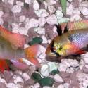 Mikrogeophagus Ramirezi - Ramirezi