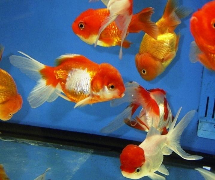 Carassius auratus - Japon Balığı
