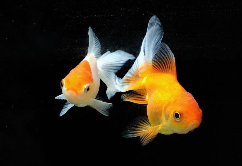 Carassius auratus - Japon Balığı (20)