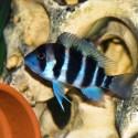 Frontosa - Cyphotilapia Frontosa
