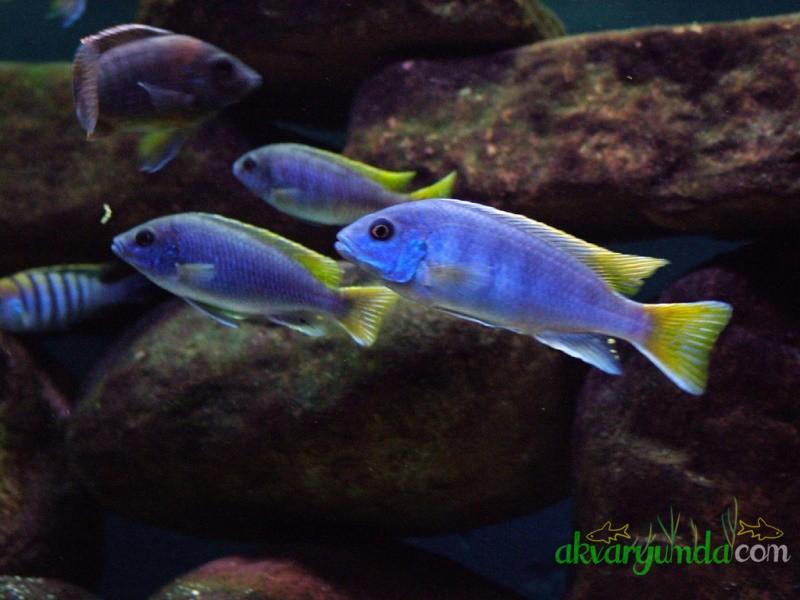 Iceman - Aysmen - Pseudotropheus Acei (2)