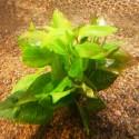 Hygrophila Corymbosa - Limon (1)