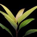 Hygrophila Corymbosa - Limon (11)