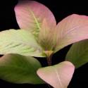 Hygrophila Corymbosa - Limon (13)