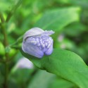 Hygrophila Corymbosa - Limon (14)