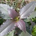 Hygrophila Corymbosa - Limon (2)