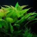 Hygrophila Corymbosa - Limon (3)