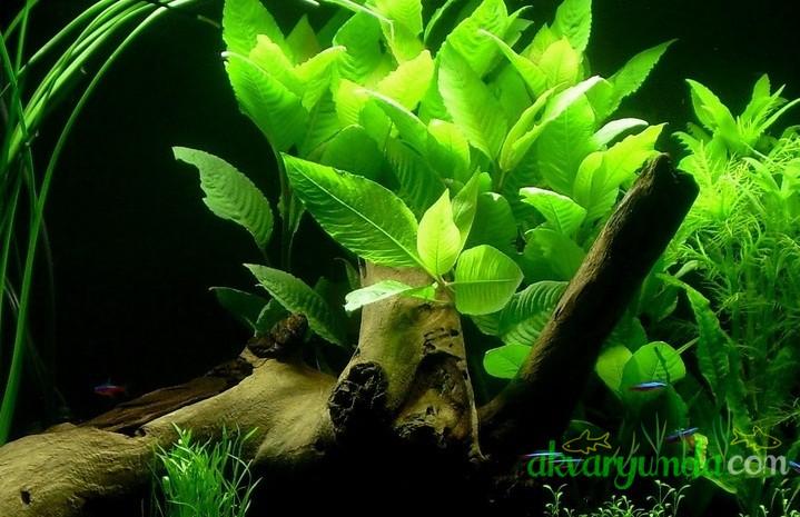 Hygrophila Corymbosa - Limon (4)