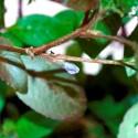 Hygrophila Corymbosa - Limon (6)