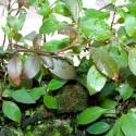 Hygrophila Corymbosa - Limon (7)