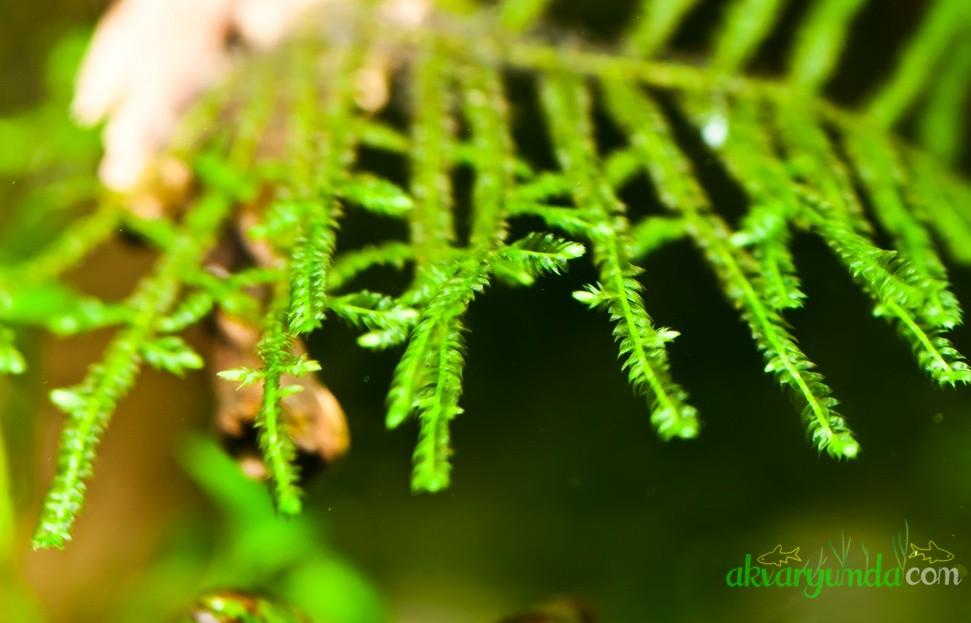Java Moss - Taxiphyllum barbieri (7)