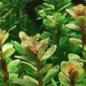 ammania_sp_bonsai_cuce_bonsai (1)