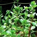 ammania_sp_bonsai_cuce_bonsai (2)