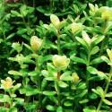 ammania_sp_bonsai_cuce_bonsai (5)