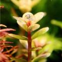 ammania_sp_bonsai_cuce_bonsai (6)