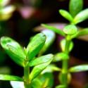 ammania_sp_bonsai_cuce_bonsai (8)