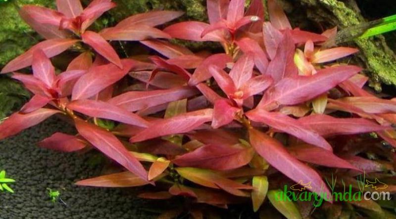 ludwigia_glandulosa (1)