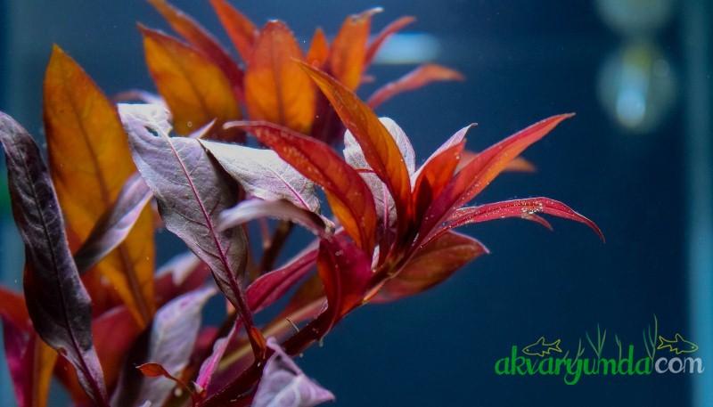 ludwigia_glandulosa (2)
