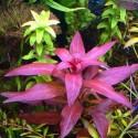 ludwigia_glandulosa (3)