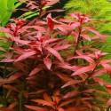 ludwigia_glandulosa (7)