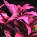 ludwigia_glandulosa (8)