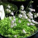 Utricularia Graminifolia (2)