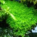 Utricularia Graminifolia (3)