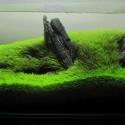 Utricularia Graminifolia (4)