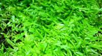 Utricularia Graminifolia (5)