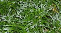Ophiopogon japonicus (2)